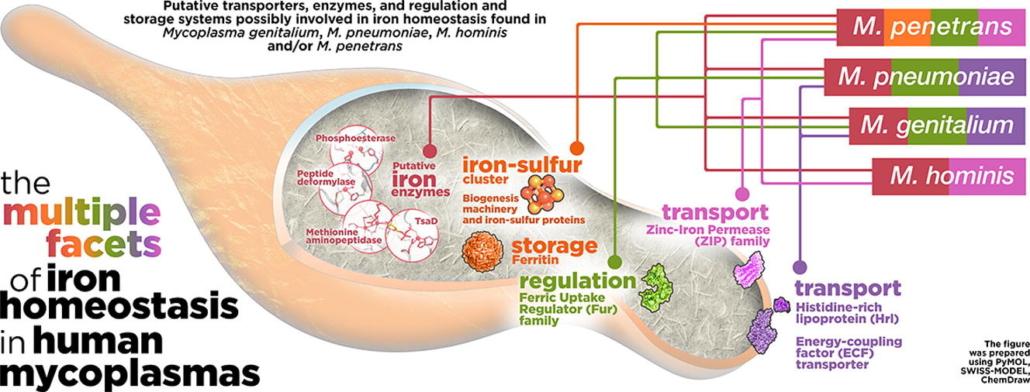 iron homeostasis